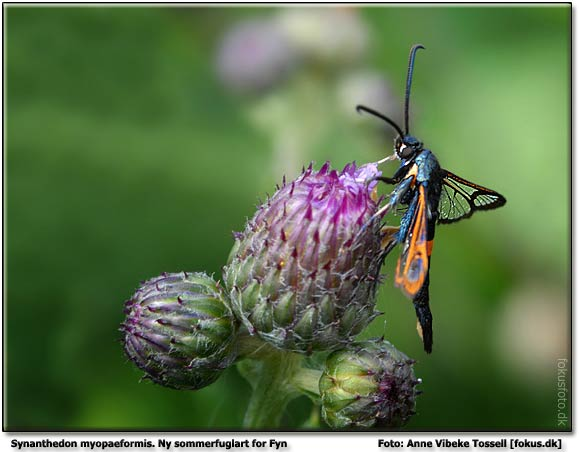Red-belted Clearwing  Copyright 2006 © Anne Vibeke Tossell